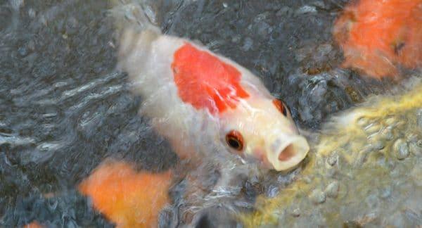 Aquaponic Fish Health