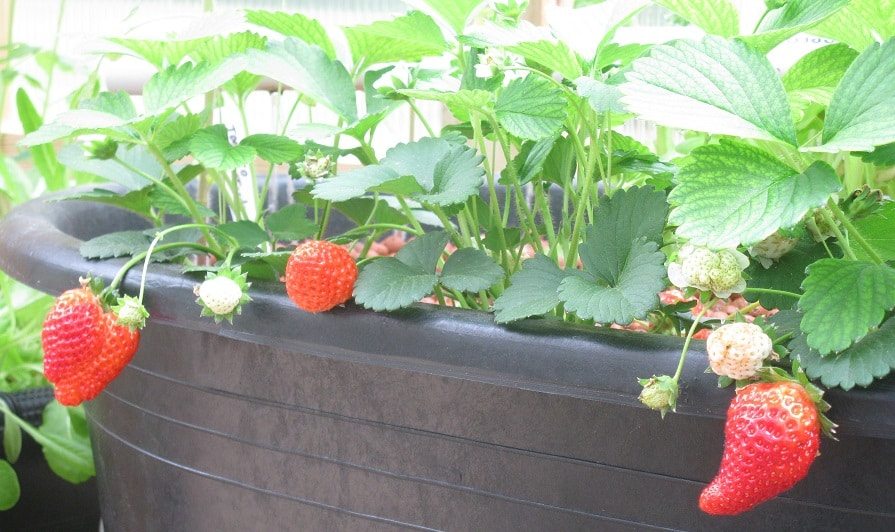 Сорта клубники для выращивания ее в домашних условиях 825
