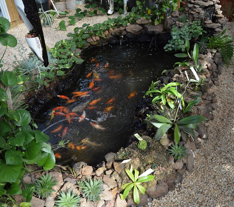 Backyard koi pond for aquaponics aquaponics exposed for Koi pond maintenance service