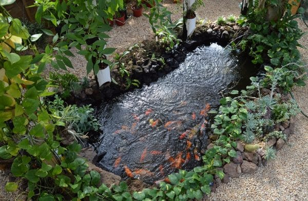 Backyard koi pond for aquaponics aquaponics exposed for Decorative pond fish