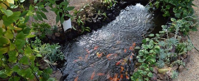 Koi Pond For Aquaponics