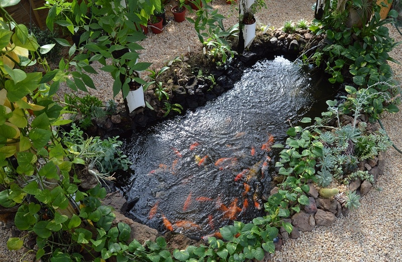 Koi Pond For Aquaponics